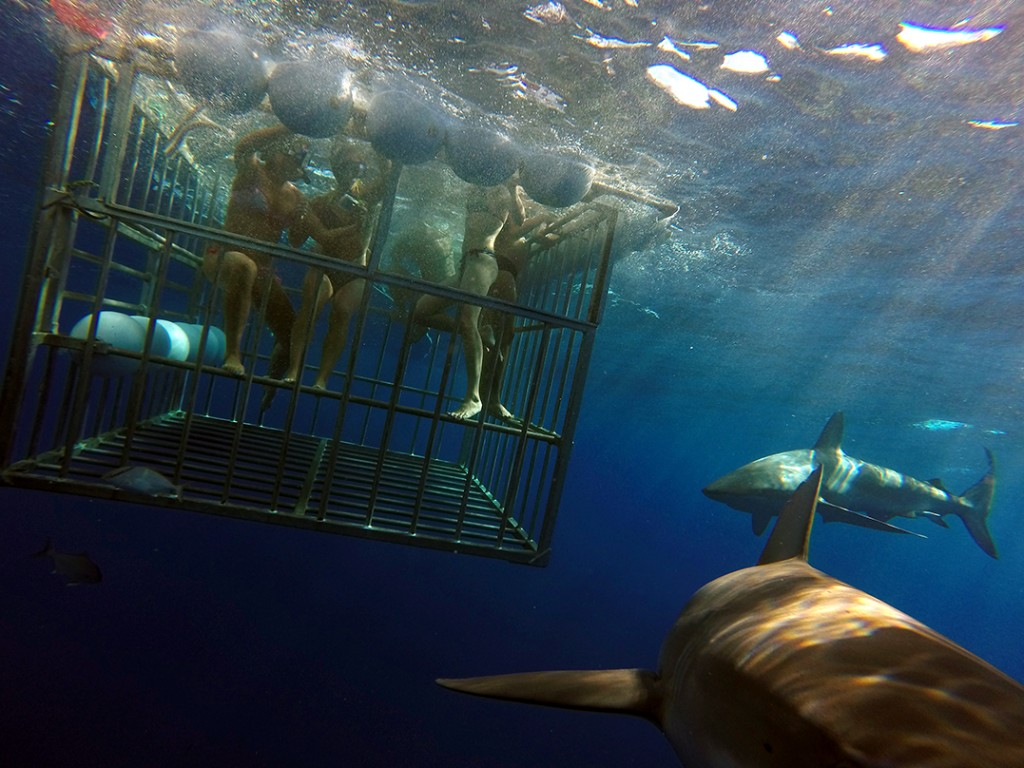 Shark Cage Dive Tour